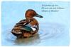 Cinnamon Teal ~ Haiku (Johnrw1491) Tags: ducks wildlife waterfowl cinnamon birds haiku