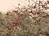 """I was dreaming for so long..."" (martinasalvatori1) Tags: marche italy colline rosacanina pearls red autumn rose brances mymountain ripetitoredicaldarola espressivephotography ms"