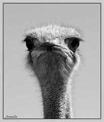 Les yeux dans les yeux ! (Armelle85) Tags: extérieur nature oiseau autruche faune portrait macro monochrome noir et blanc animal