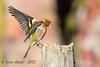 xxD40_5060 (Eyas Awad) Tags: eyasawad nikond4 sigma500f45 nikonafs300mmf4 bird birds birdwatching wildlife nature fringuello fringillacoelebs