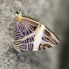 Colobura dirce (Ouwesok) Tags: canoneos80d sigmaapo35180mmaf coloburadirce zebravlinder vlinder insect vlindertuin burgersmangrove