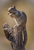 Loving life (cindyslater) Tags: rocksquirrel goldenvalleyaz arizona wildlife peanut cindyslater animal