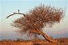 The Bird and the Tree (The Spirit of the World) Tags: bird roller tree acacia nature wild wilderness africa wildlife fowl southafrica gamereserve gamedrive landscape sky woodlands grasslands madikwe