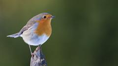 Robin (Wim Boon (wimzilver)) Tags: wimboon roodborstje roodborstjeindesneeuw robin vogel vogelhuthanbouwmeester winter canonef400mmf56lusm canoneos7d