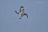 Hovering Sweet!!! (Anirban Sinha 80) Tags: nikon d610 fx 500mm f4 ed vrii n g bird kingfisher pied wings hovering bokeh beak