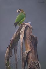 Gone Bananas (Khurram Khan...) Tags: brownhoodedparrot birds costarica conservation fog wildlife wildlifephotography wild wwwkhurramkhanphotocom khurramkhan nikon nikkor web spider banana birdphotography winter