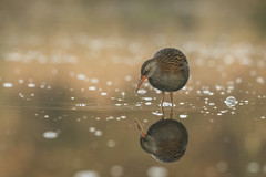 Water Rail (cazalegg) Tags: wader reflections rail river dawn nature birds water waders nikon scotland