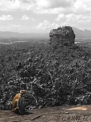 Monkey Pause (Stéphane Giornal) Tags: sigiriya srilanka monkey blackandwhite rock sigiriyarock forest wildlife trees india clouds sky