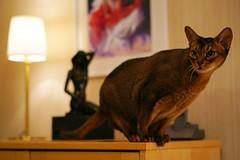 Look out! (DizzieMizzieLizzie (off for a while)) Tags: abyssinian aby beautiful wonderful lizzie dizziemizzielizzie portrait cat chats feline gato gatto katt katze katzen kot meow pisica sony animal pet 2017 cute yellow neko macska kedi 猫 kočka kissa γάτα köttur kucing kaķis katė кошка mačka gatos kitteh chat ネコ beauty a6500 zeiss 55mm ilce6500 ilce sel55f18z sonnar awesome digital golden style sport