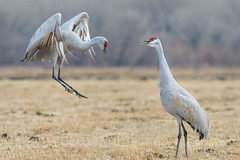 Celebrate Life (Amy Hudechek Photography) Tags: sandhill crane colorado delta widlife nature wild dance graceful amyhudechek nikon200500f56 nikon d500