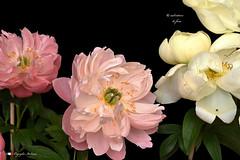 I COLORI DELLA NATURA. (Salvatore Lo Faro) Tags: nature natura fiore peonia rossa rosa bianca verde nero salvatore lofaro nikon 7200