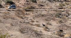 donkey3 (jeffcuneo) Tags: parker arizona needles california desertgeology southwestunitedstates southwestgeology wild burros donkeys
