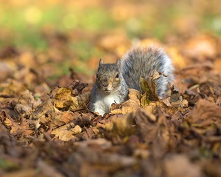 A grey Squirrel enjoying the Autumn leaves 🍁