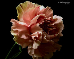 Pink Carnation 1022 Copyrighted (Tjerger) Tags: nature beautiful beauty black blackbackground bloom blooming carnation closeup flora floral flower green macro pink plant portrait single wisconsin natural brownfall