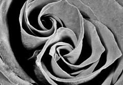 Swirly red rose petals, using my Macro tubes.🌷👍😁 (LeanneHall3 :-)) Tags: blackandwhite rose rosepetal petals swirlypetals closeup closeupphotography macrotubes macro canon 1300d