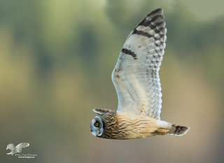 Tracking Troubles (Short-Eared Owl)