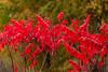Sumac (nikons4me) Tags: sumac iowa ia autumn red fallcolor nikonafsdx18200mmf3556gifedvr nikond200