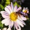 Hover Fly  on Daisy (AngelVibePhotography) Tags: daisy outdoor outdoors nikon blossom closeup arthropods blossoms flower fly insects flowers garden nature hoverfly northcarolina pink plant daisies bee photography animal animals insect macro nikonp900 depthoffield