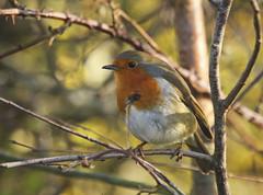 Robin (Prank F) Tags: brandonmarsh wildlifetrust warwickshireuk wildlife nature bird robin
