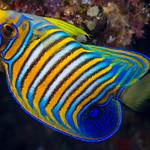 Regal Angelfish, young subadult - Pygoplites diacanthus thumbnail
