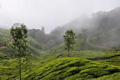 India - Kerala - Munnar - Tea Plantagen - 205 (asienman) Tags: india kerala munnar teaplantagen asienmanphotography