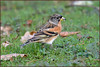 Brambling (image 1 of 3) (Full Moon Images) Tags: rspb sandy lodge thelodge wildlife nature reserve bedfordshire bird brambling male