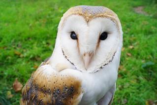 òliba - Tyto alba