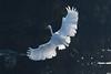 101.jpg (Kico Lopez) Tags: miño lugo spain galicia birds garcetagrande rio ardeaalba aves