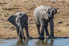Drinking Buddies (gecko47) Tags: namibia etoshanationalpark waterhole loxodontaafricana africanelephant