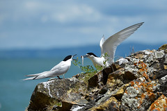 White Fronted Terns (bevanwalker) Tags: d750 nikon coastline newzealand coromandel food feeding young family tern whitefaced