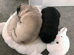 Josie and Sadie (Stefan Candie) Tags: pugs 2017 dogs cute pets pug