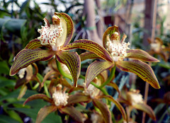 Cymbidium tracyanum 'Citron Sunray' species orchid (nolehace) Tags: fall nolehace sanfrancisco fz1000 cymbidium tracyanum citron sunray species orchid 1017 cultivar