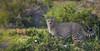 Standing guard (Coisroux) Tags: cheetah stare bushveld kwandwe wildlife safari southafrica d5500 nikond intense portrait big5 7dwf