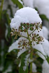 Snowcap (pstenzel71) Tags: pflanzen winter schnee snow samyang135mm20 darktable samsungnx