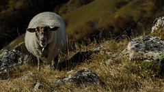 Mouton sur l'alpage (christian.rey) Tags: mouton sheep schafe alpes alps alpage valais swiss suisse pâturage sony alpha 77 18135 animal