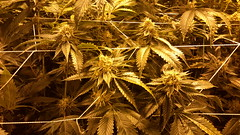 20150512_095251 (CannaPsy) Tags: hydroponics flood drain indoor medical cannabis marijuana weed horticulture high pressure sodium hps og