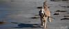 2017 - 11_25 - Wide - Animals - Dogs - Squid_Max 01 (stevenlazar) Tags: beach ocean water australia dog outerharbor adelaide sand 2017 southaustralia waves