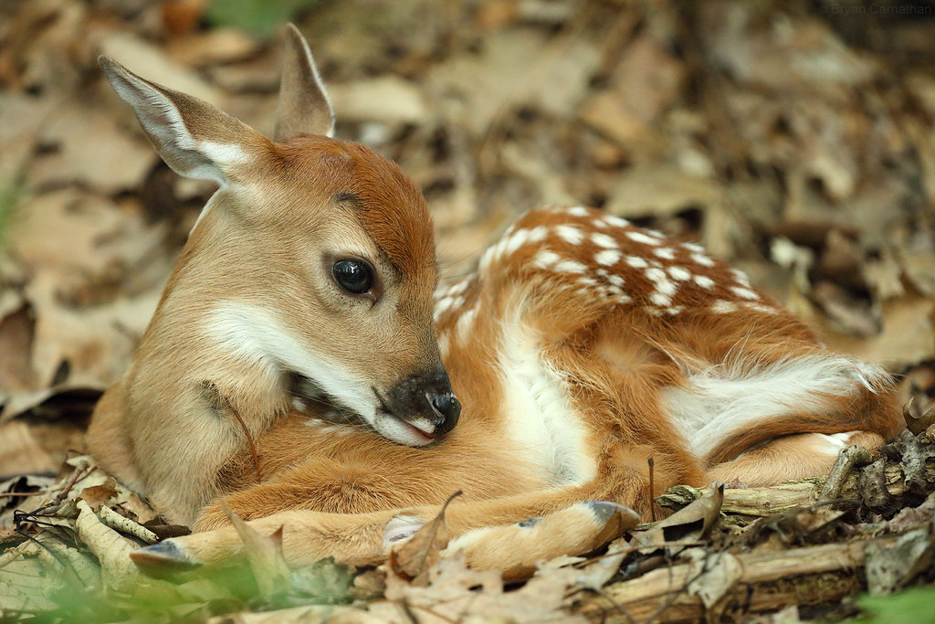 The World's Best Photos of fawn and pa - Flickr Hive Mind