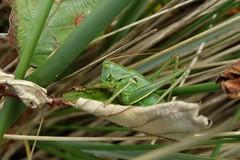 Sat sitting! (rockwolf) Tags: greatgreenbushcricket tettigoniaviridissima orthoptera bushcricket cricket sauterelle insect sennencove cornwall 2017 rockwolf
