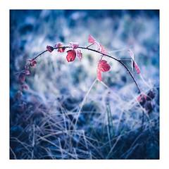 Bramble 2 (gerainte1) Tags: leaves colour frost bramble film portra160 hasselblad