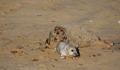 Seal mum and pup (yvonnepay615) Tags: panasonic lumix gh4 nature seals horseygap norfolk eastanglia uk coth coth5