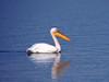 Pelican (markb120) Tags: animal fauna bird fowl flyer flier beak bill pecker rostrum neb nib plumage feathering feather coverts coat dress water head eye wing