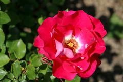 Maig_1494 (Joanbrebo) Tags: barcelona catalunya españa es park parque parc parccervantes garden jardí jardín flors flores flowers fleur fiori blumen blossom rosa rose canoneos70d eosd efs18135mmf3556is autofocus