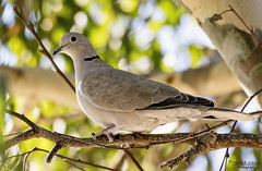 Eurasian Collared Dove (Explore) (Patrick Dirlam) Tags: our house land birds dove eurasian collared explore explored