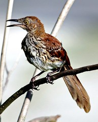 Brown Thrasher (Toxostoma rufum) (Susan Roehl) Tags: southwestflorida usa brownthrasher toxostomarufum statebirdofgeorgia mimidaefamily largesized over1000songs bird animal outdoors tree toxostomafamily omnivore eatsinsects fruits nuts nestinscrubs smalltrees sometimesgroundlevel inconspicuous territorial willlattackhumans defendingnest susanroehl pentaxk7 sigma150500mmlens handheld abundantdispersal coth5 ngc