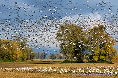The Gathering (Gary Grossman) Tags: flock geese snowgeese canadageese garygrossmanphotography gleaning fall fallcolor autumn landscape landscapephotography waterfowl wildlife wildlifephotography pacificflyway pacificnorthwest oregon sauvieisland