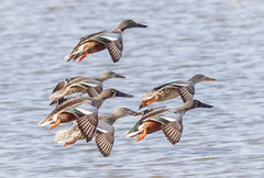 Northern Shovelers Landing (tresed47) Tags: 2017 201711nov 20171103bombayhookbirds birds bombayhook canon7d content delaware ducks fall folder northernshoveler november peterscamera petersphotos places season takenby us ngc npc