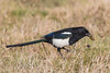 Magpie Thief! (Linda Martin Photography) Tags: lighthouse wildlife portland nature birds portlandbill magpie uk dorset coth naturethroughthelens alittlebeauty coth5 ngc