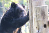 V061 Sampo 3Nov2017 (14) (Animals Asia) Tags: animalsasia vietnam vbrc vietnambearrescuecentre sampo moonbearmonday moonbear