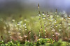 Regentropfen im herbstlichen Mauer-Drehzahnmoos (AchimOWL) Tags: macro makro natur nature gx80 outdoor schärfentiefe wasser wassertropfen tropfen heiter bokeh dewdrops tautropfen makrotautropfen gotas drops drop rain acqua water waterdrops macros ngc sporenkapsel sporophyt wildlife mauerdrehzahnmoos tortulamuralis moos mauer natursteinmauer dezember